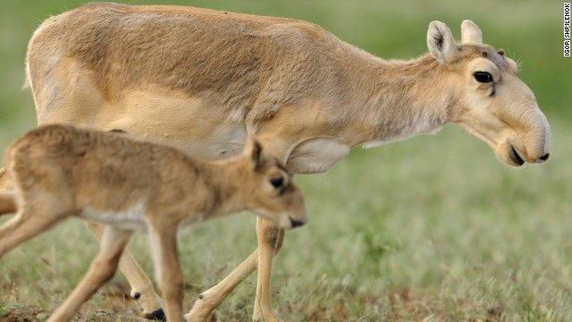 Mass deaths of 200,000 saiga antelopes linked to bacteria