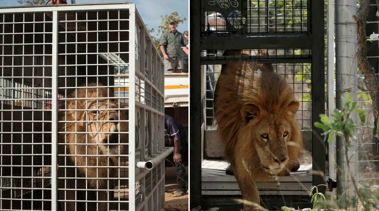 After lifetime of abuse, 33 rescued circus lions step out of cages for 1st time