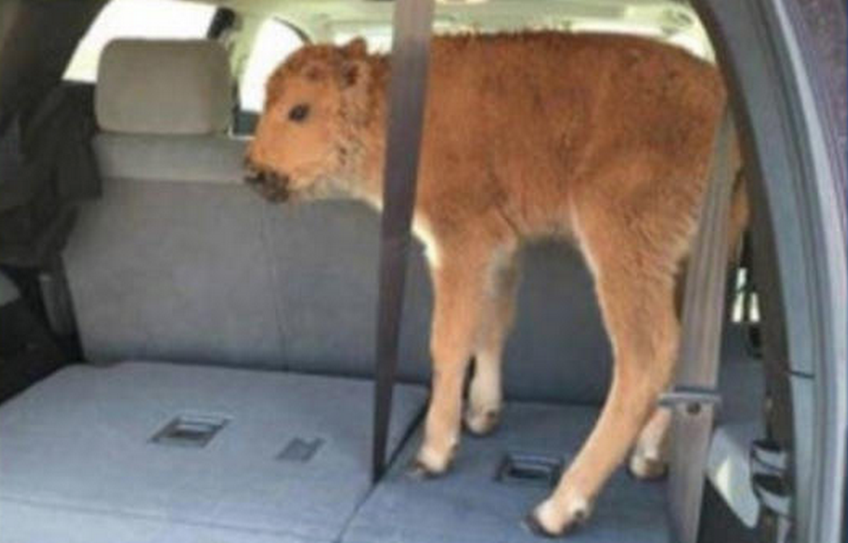 Tourists defend putting baby bison into back of car which led to its euthanization